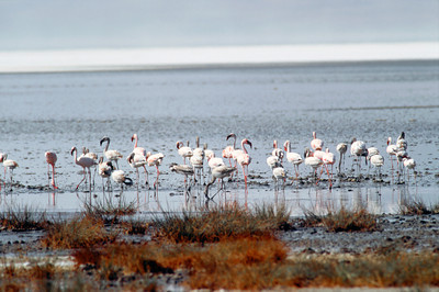 Pink Flamingos, Lake Manyara