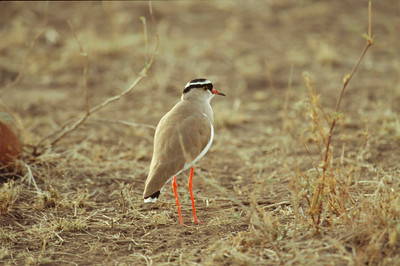 Crowned Plover
