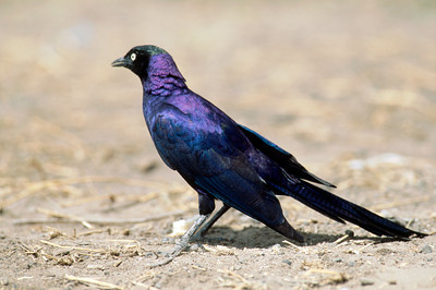 Africa, Tanzania, Serengeti, Ruppell's long-tailed Starling