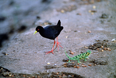 Black Crake and Green Salamander