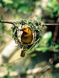 Africa, Tanzania, Ngorongoro Crater, Northern Masked Weaver