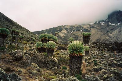 Giant Senecios, Karanga Valley, Mount Kilimanjaro