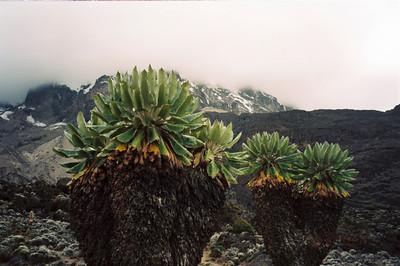 Giant Senecious, Mount Kilimanjaro
