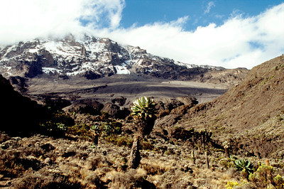 Mount Kilimanjaro from Karanga Valley, Giant Senecios in Foreground
