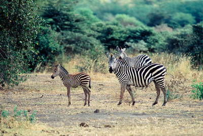 Common Zebras and calf