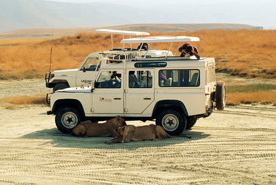 Lions Resting in the shade of Safari Land Rovers