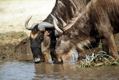 Wildebeest at watering hole