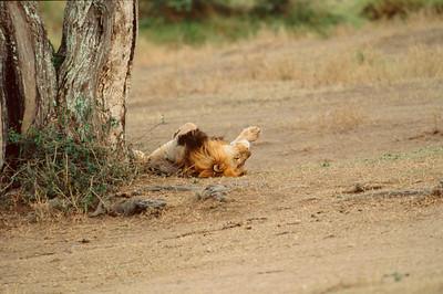 Male Lion rolling