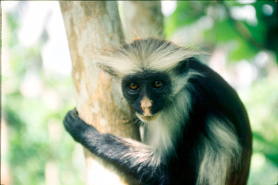 Rare Red Colobus Monkey