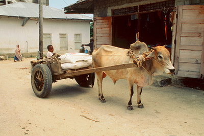 Ox Cart on Pemba