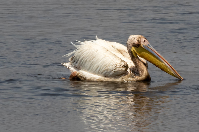 Great White Pelican, Africa