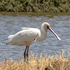 African Spoonbill, africa
