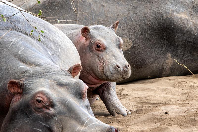 Hippopotomous, Africa