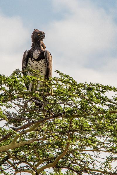Martial Eagle, Africa