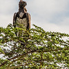 Martial Eagle, Africa