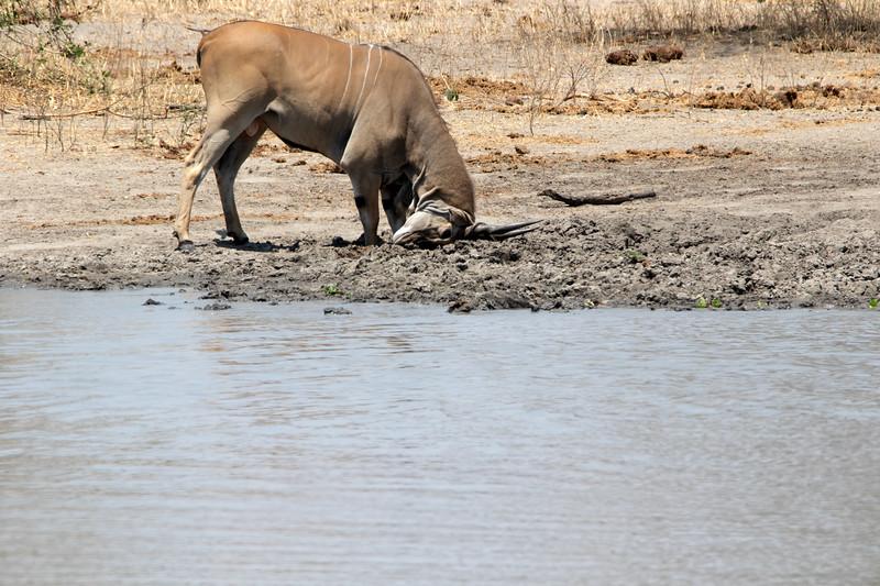 Eland, Africa