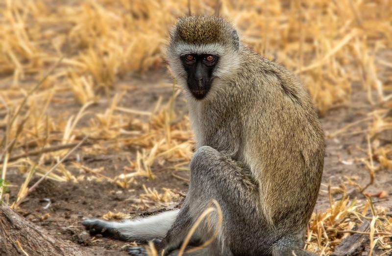 Black-faced Vervet Monkey, Africa