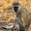 Black-faced Vervet Monkey, Africa