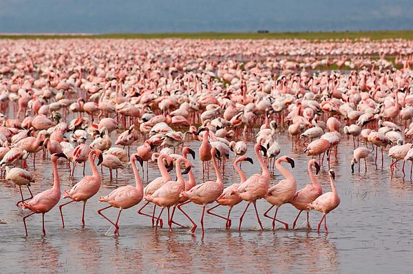 #AF 014 Flamingos, Lake Nakuru, Kenya