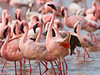 #AF 015 Struting Flamingos, Lake Nakuru, Kenya