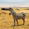Common Zebra, Africa