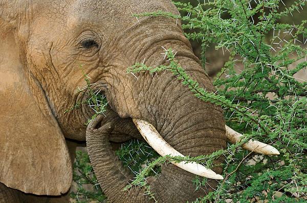 #AF 046 Elephant Eating Acacia Tree, Samburu Natl. Reserve, Kenya