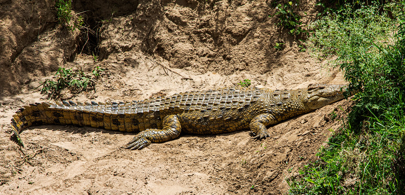 Nile Crocodile, Africa