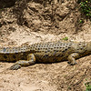 Nile Crocodile, Africa