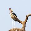 Marabou Stork, Africa