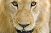 #AF 069 Lioness Close-up, Maasai Mara, Kenya