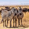 Common Zebra, Africa