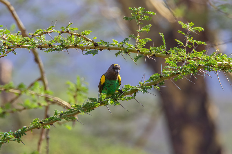 Brown Parrot, Africa