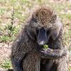 Baboon, Africa