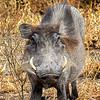 Warthog, Africa