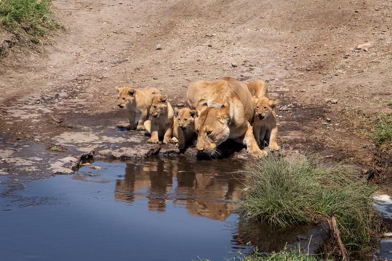 Lion, Africa