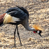 Grey-crowned Crane, Africa