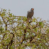 African Harrier Hawk, Africa