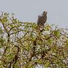 African Harrier Hawk, Africa