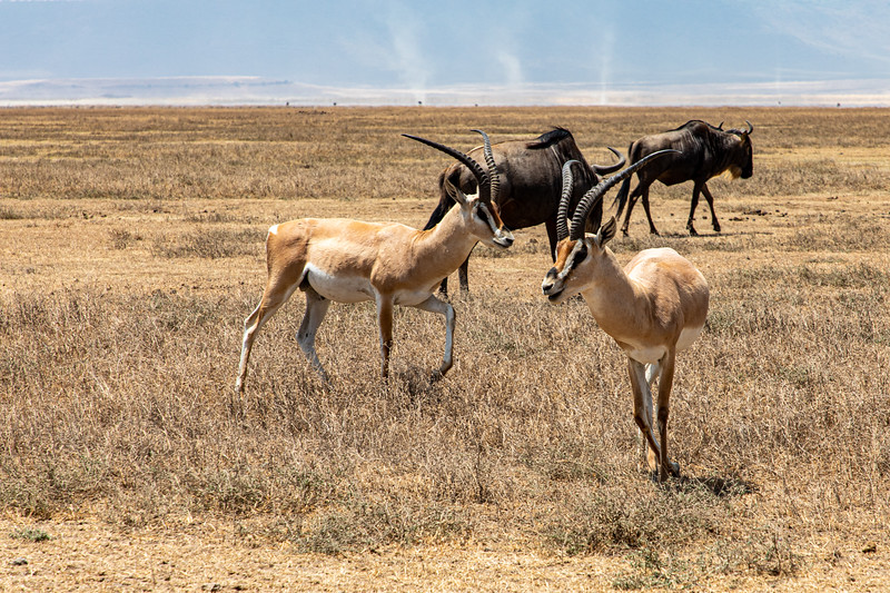 Grants Gazelle, Africa