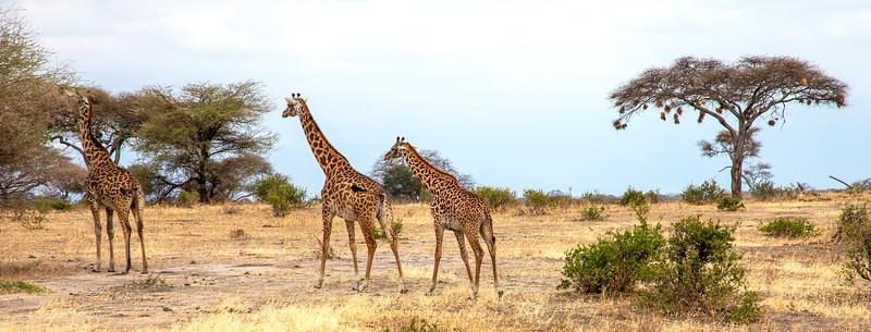 Giraffe, Africa