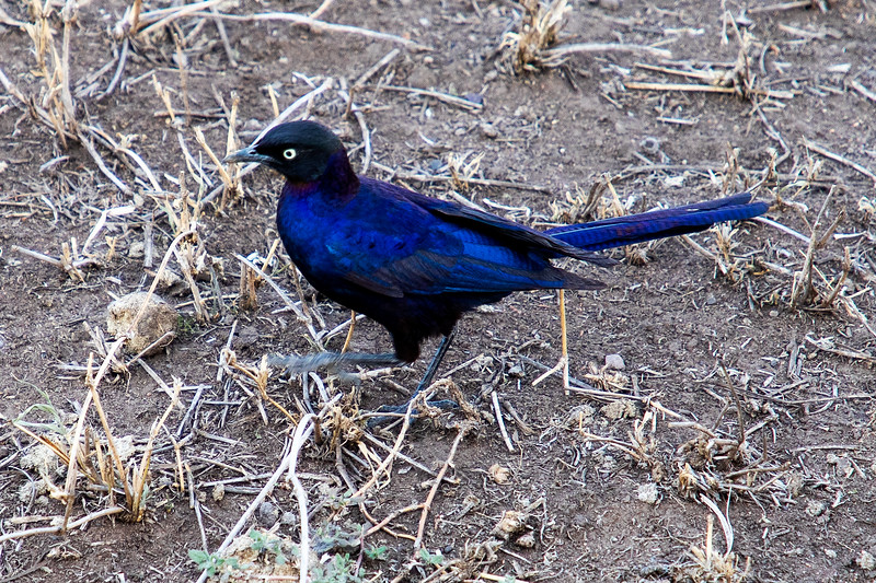 Blue-eared Starling, Africa
