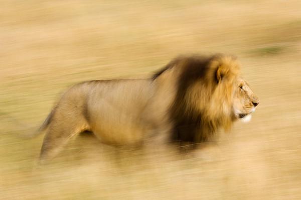 #246 Lion, Maasai Mara, Kenya