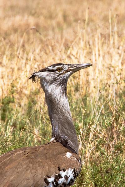 Kori Bustard, Africa
