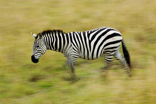#247 Zebra, Maasai Mara, Kenya