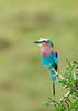 #AF 036 Lilac-breasted Roller, Maasai Mara, Kenya