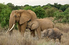 #AF 044 Elephants, Samburu Natl. Reserve, Kenya
