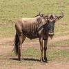 Wildebeest, Africa