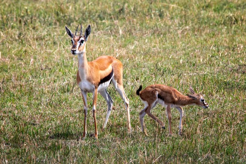 Thomsans Gazelle, Africa