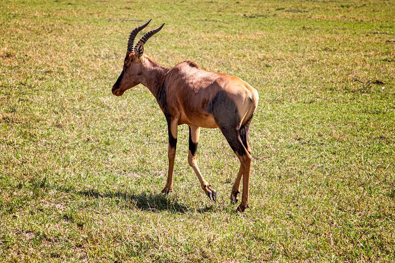 Topi, Africa