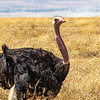 Common Ostrich - Africa